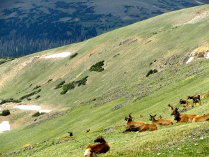 Herd of elk lounging at 11,000 feet in Rocky Mt National Park