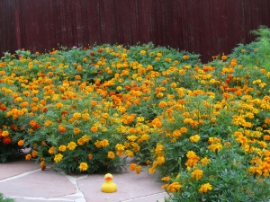 Lots of marigolds.