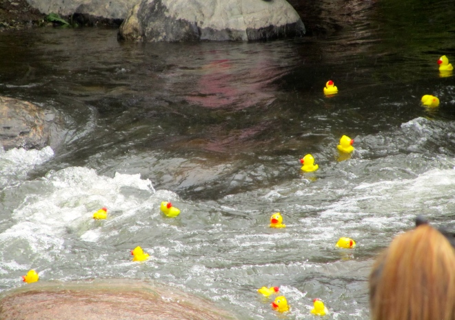 Ducks racing in Blue River.  Breckenridge Colorado September 2013
