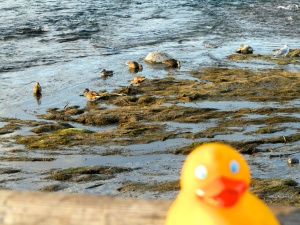 Ducks at Giant Springs
