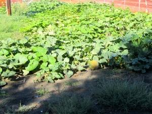 Pumpkins do wander