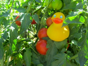 I'm in a tomato plant