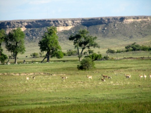 Herd of antelope