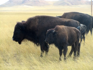 Old and young buffalo in herd