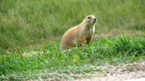 Black tail prairie dog. Looks so cute