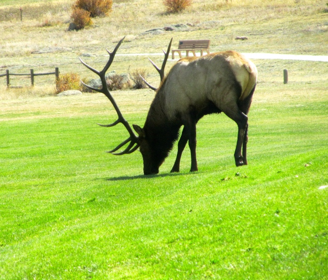 Male elk ready to defend territory and his females