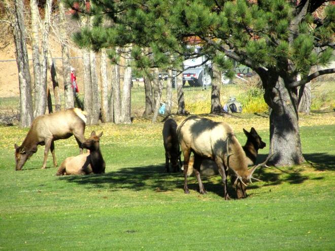 Elk relaxing