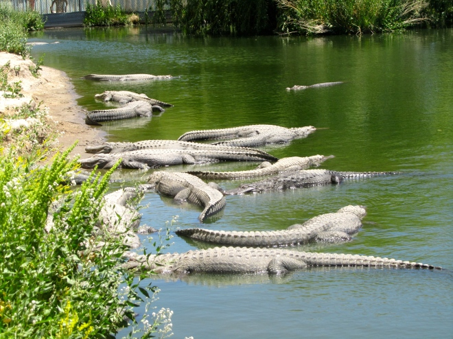 alligators.  Friend or foe??