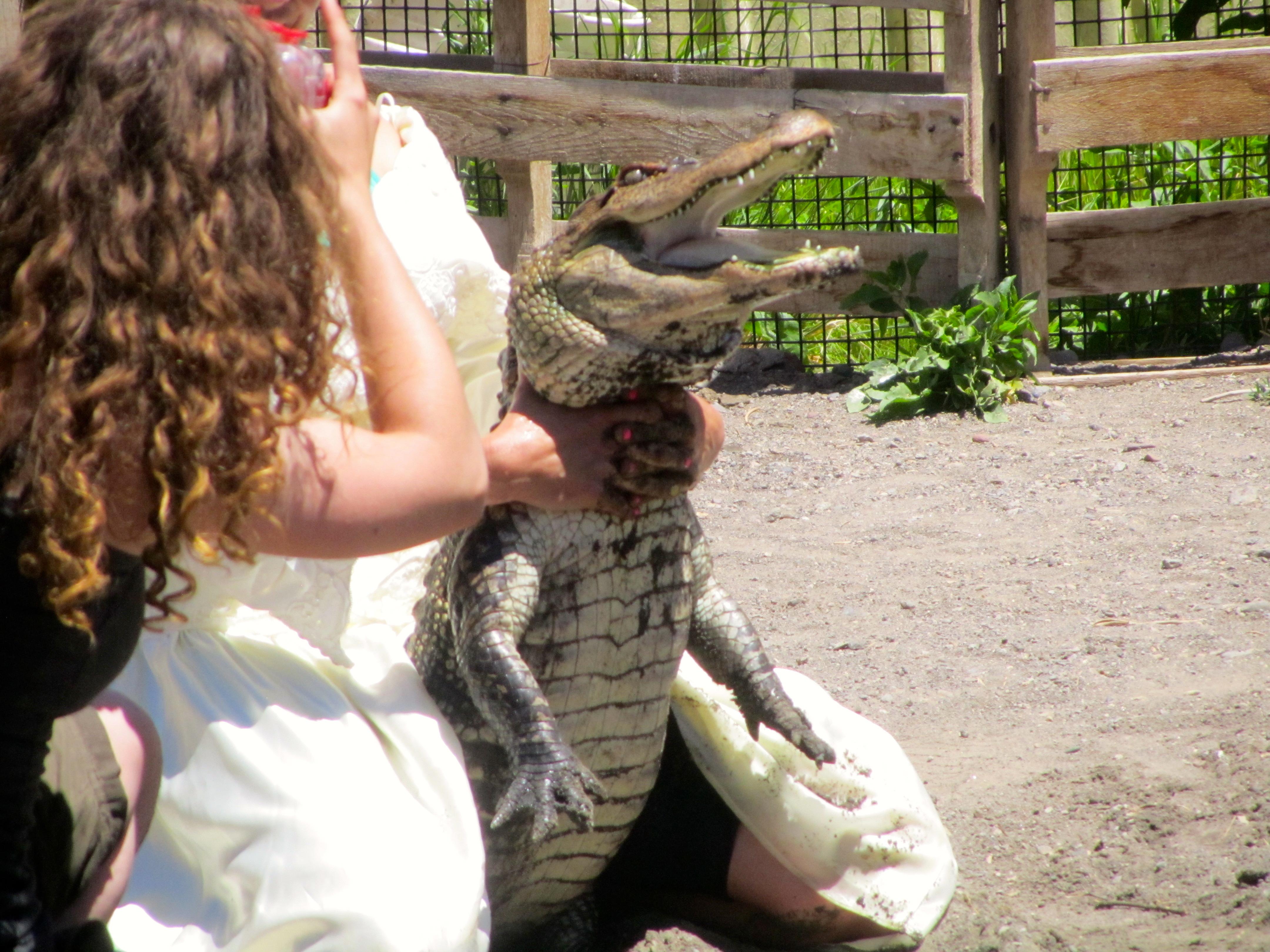 Happy Gilmore alligator – Colorado Traveling Ducks
