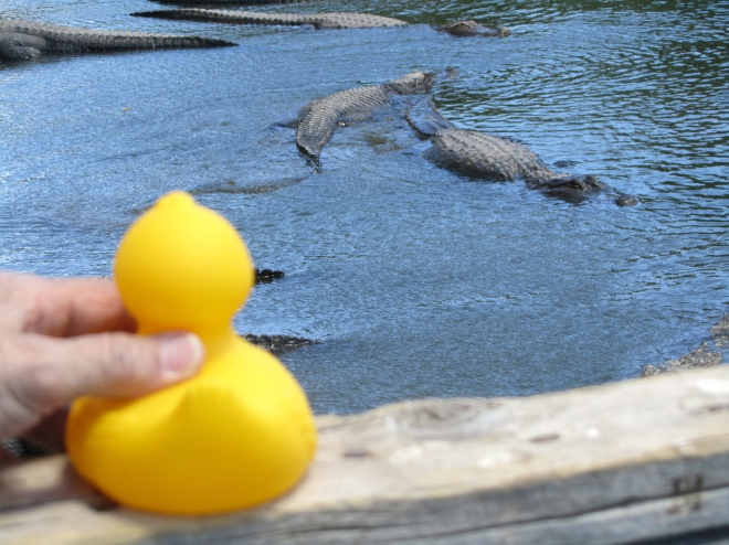 You will want to see these alligators.  Visit soon