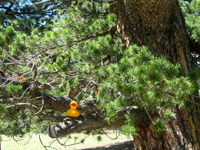 Bristlecone Pine with a duck
