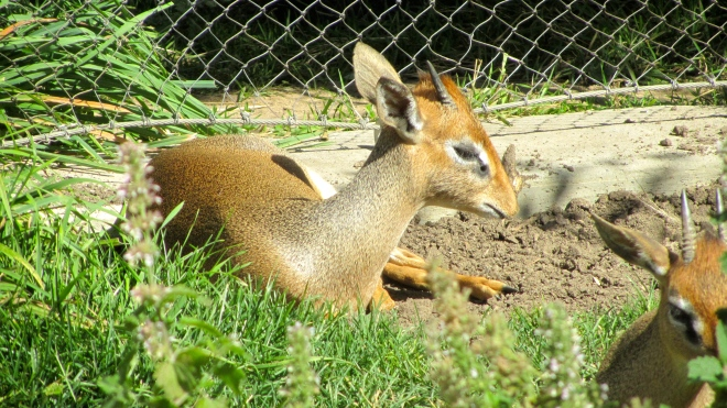 Dik Dik.  So little and cute.