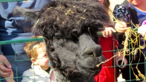 Mom alpaca had her head in straw