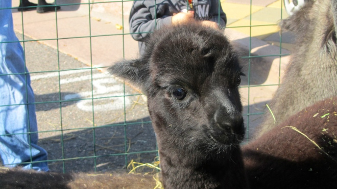 Baby alpaca watching me