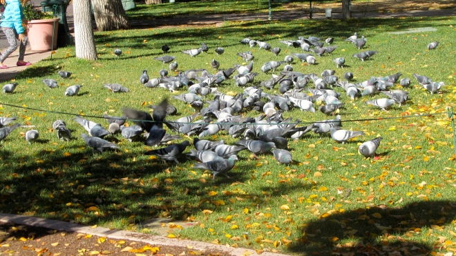 So many pigeons eating in the plaza