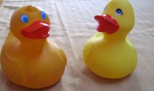 Zeb the Duck with Alaska cousin.