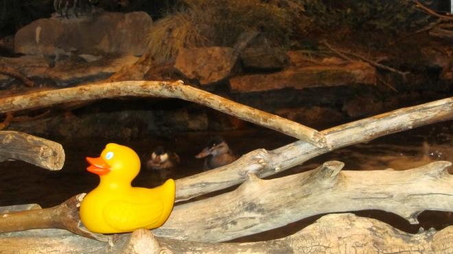 Ruddy ducks behind me