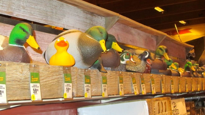I am with all these duck decoys