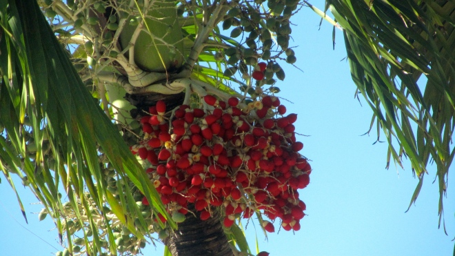 Palm tree with red seeds