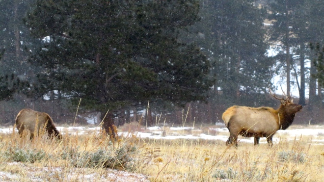 Elk grazing as snow begins to fall