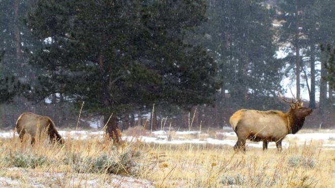 Elk grazing as snow begins to fall