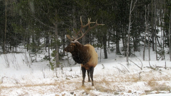 Bull elk in the snow