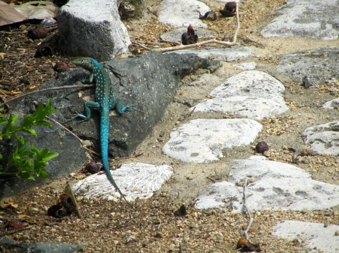 whip tail lizard at Ayo Rock