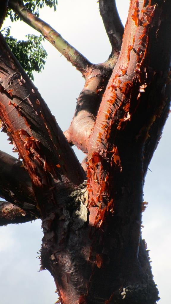 Red bark.  Pretty