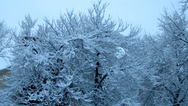 Snow coated tree