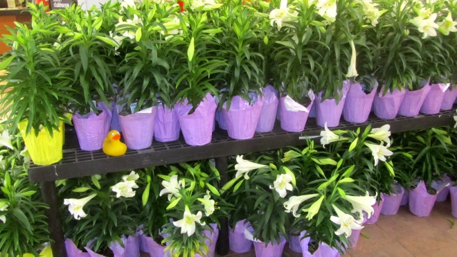 Many Easter Lilies