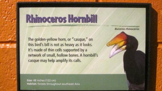 Rhinoceros Hornbill information