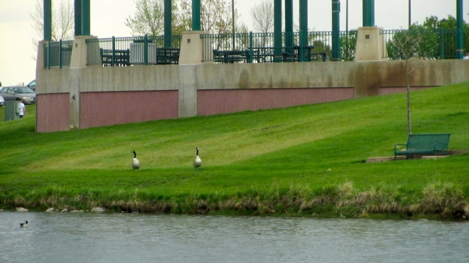 Geese talking to racers