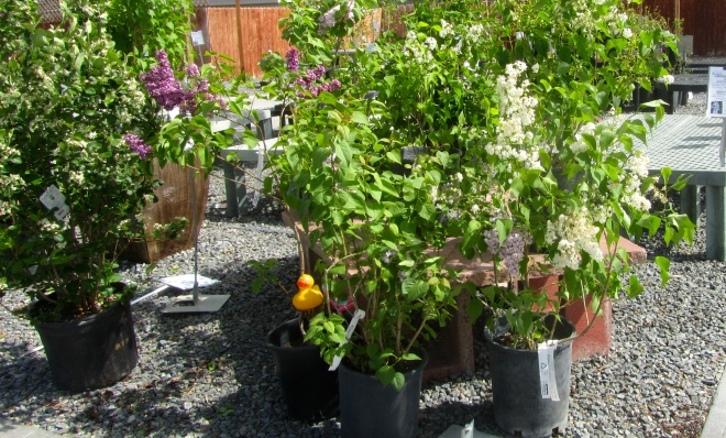 Lilacs to take home and plant