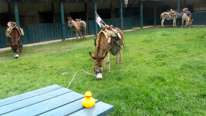 This burro is better than a lawn mower.