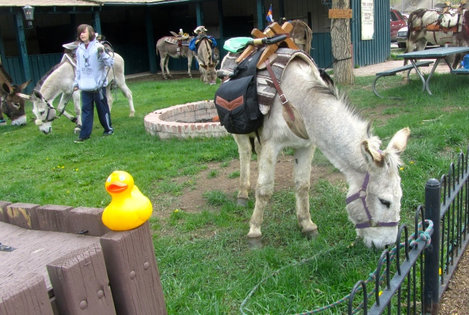 Hungry burros