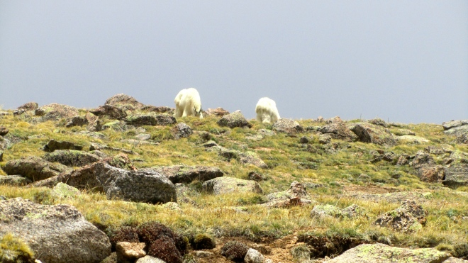 Mountain goats grazing