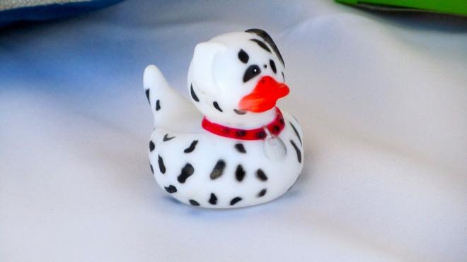 Dalmatian Duck
