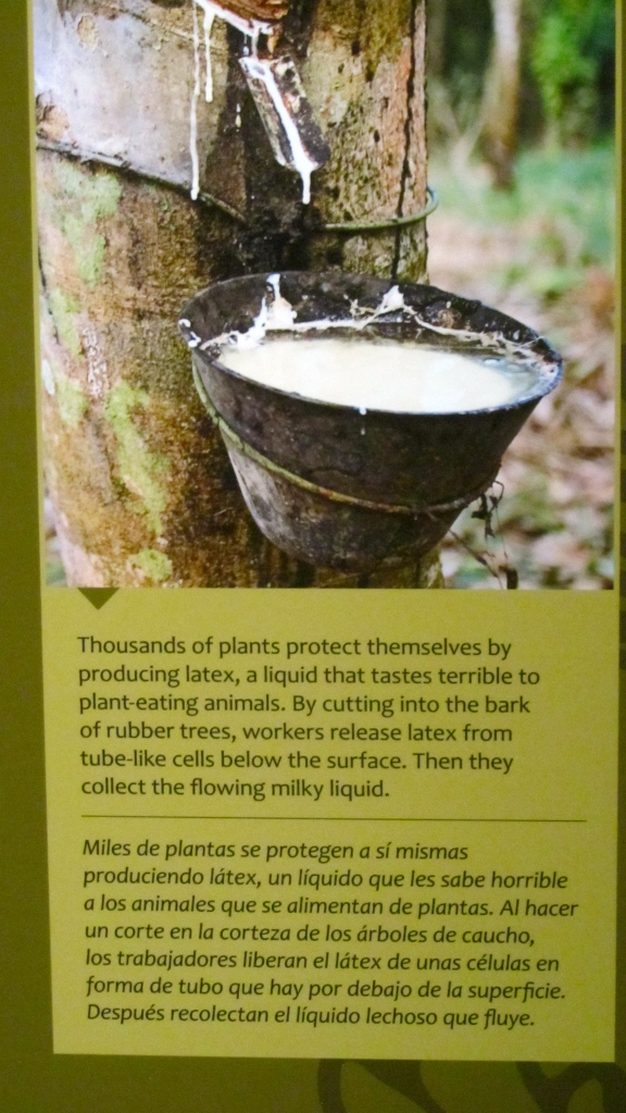 Collecting latex from rubber tree