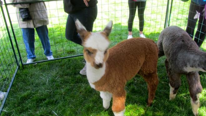 Young alpacas