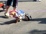 Patriotic dog with cart
