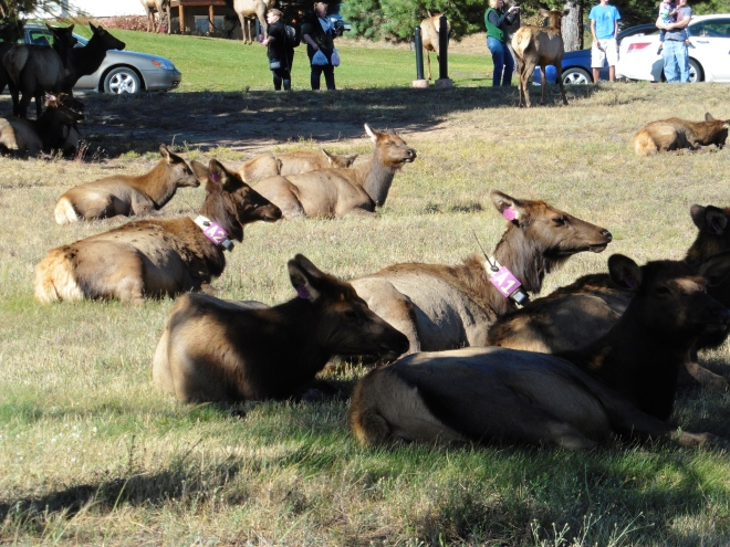 Elk are being monitored