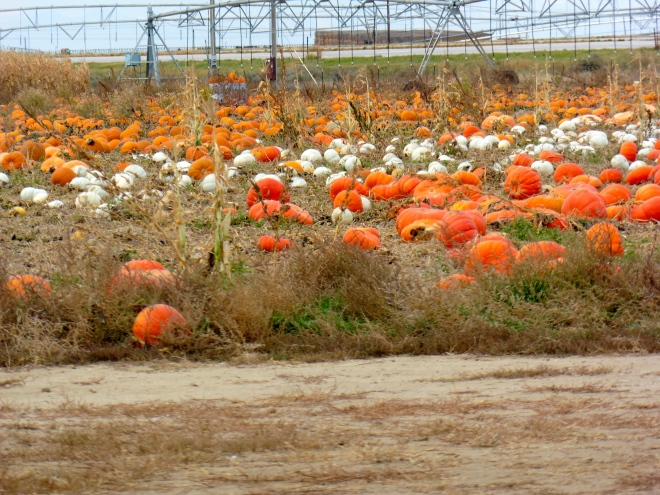 Orange and white pumpkins still on the vines