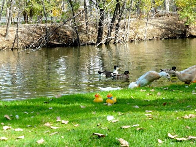 Ducks meeting ducks