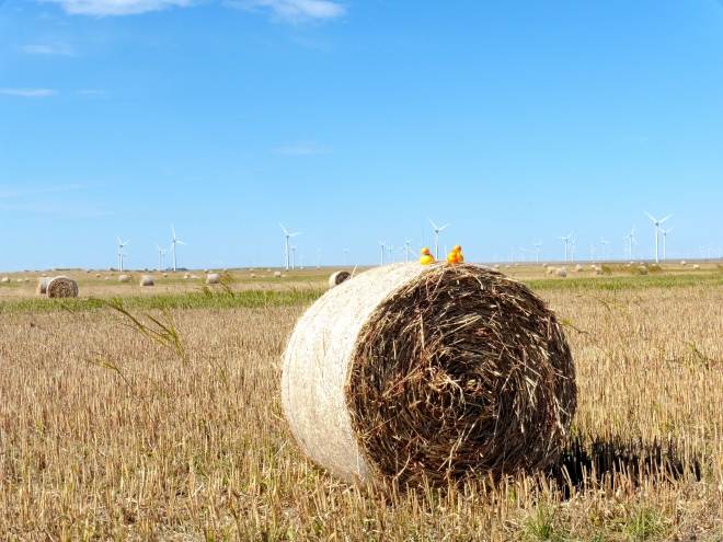 Ducks on hay