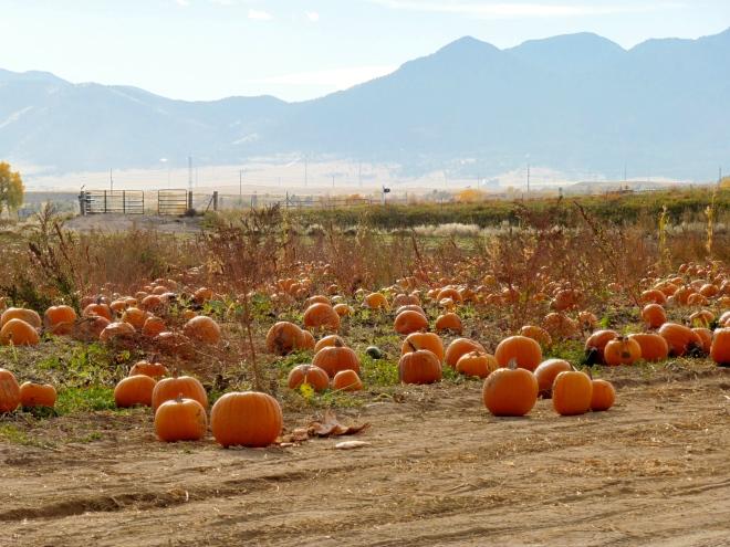 One of many pumpkin fields to enjoy
