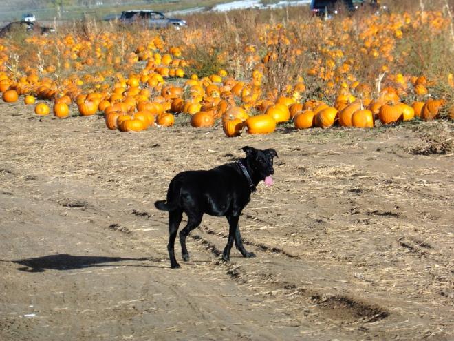 Steve is busy exploring in pumpkin fields