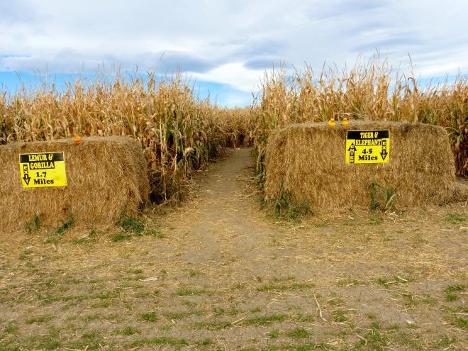 Entrance to corn maize