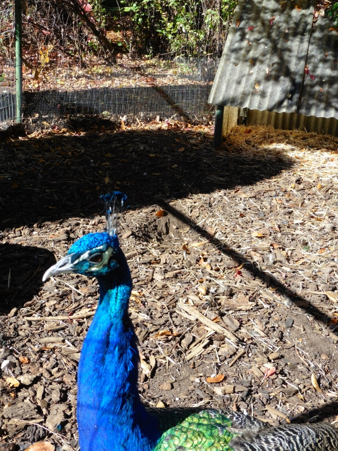 Peacock is bright blue