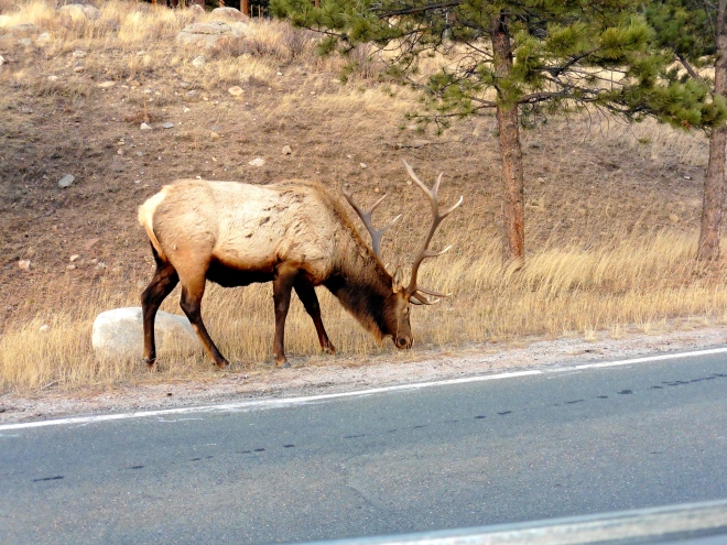Even elks want a snack.