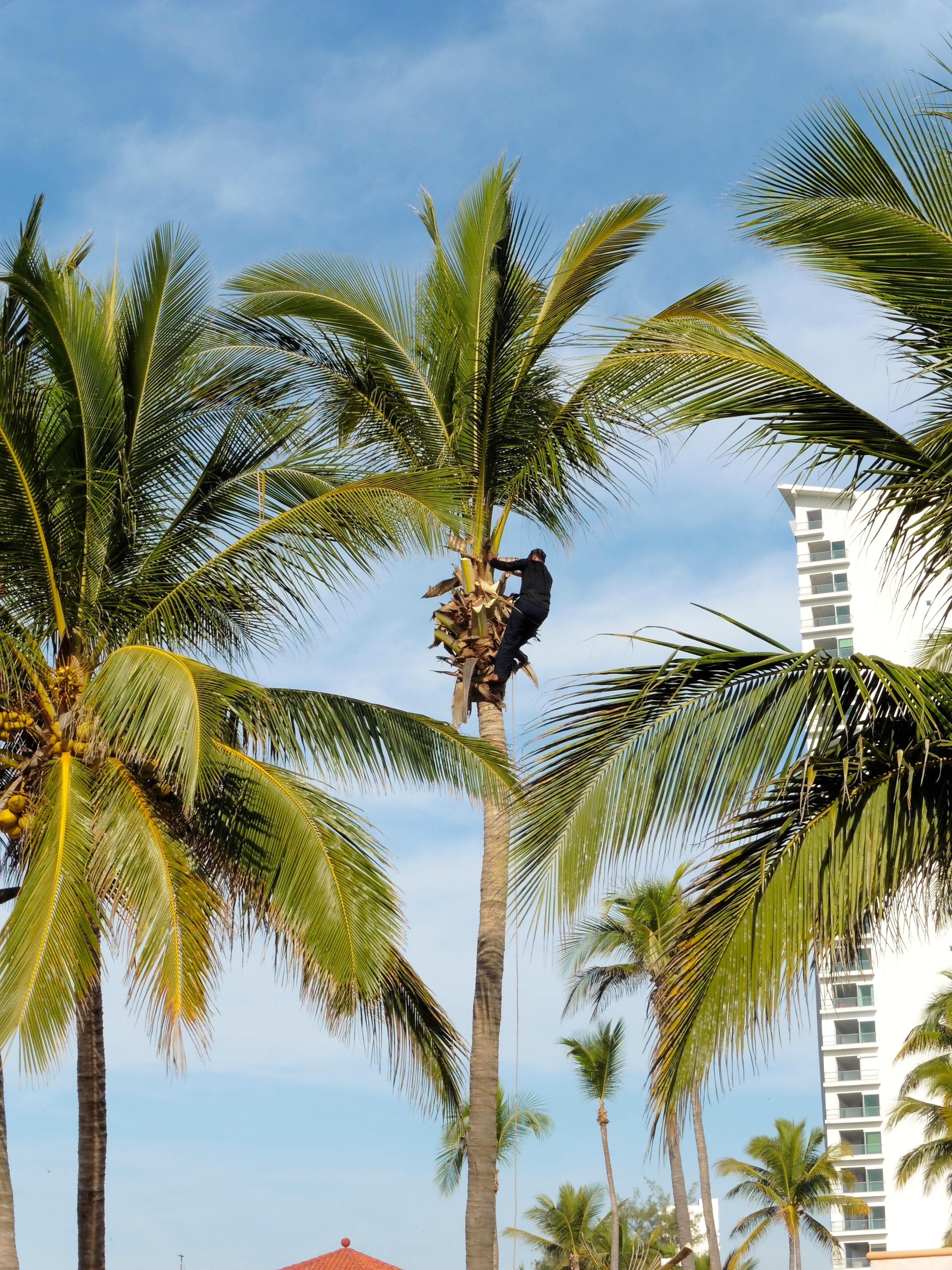 Coconut palm trees - Colorado Traveling Ducks
